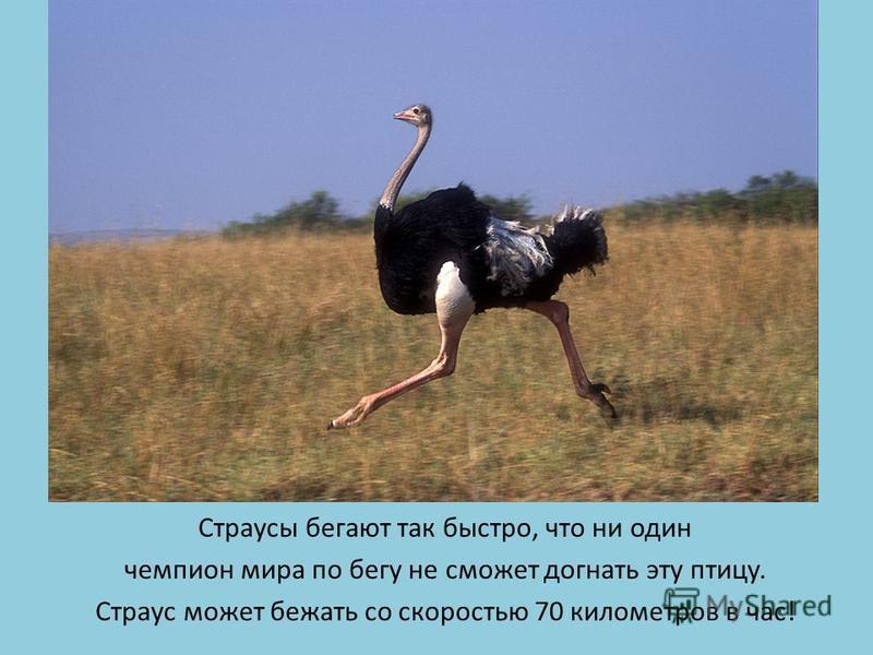 Страусы бегают так быстро, что ни один чемпион мира по бегу не сможет догнать эту птицу. Страус может бежать со скоростью 70 километров в час!