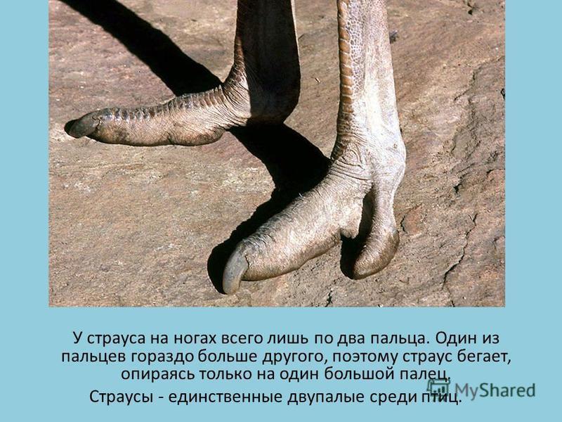 У страуса на ногах всего лишь по два пальца. Один из пальцев гораздо больше другого, поэтому страус бегает, опираясь только на один большой палец. Страусы - единственные двупалые среди птиц.