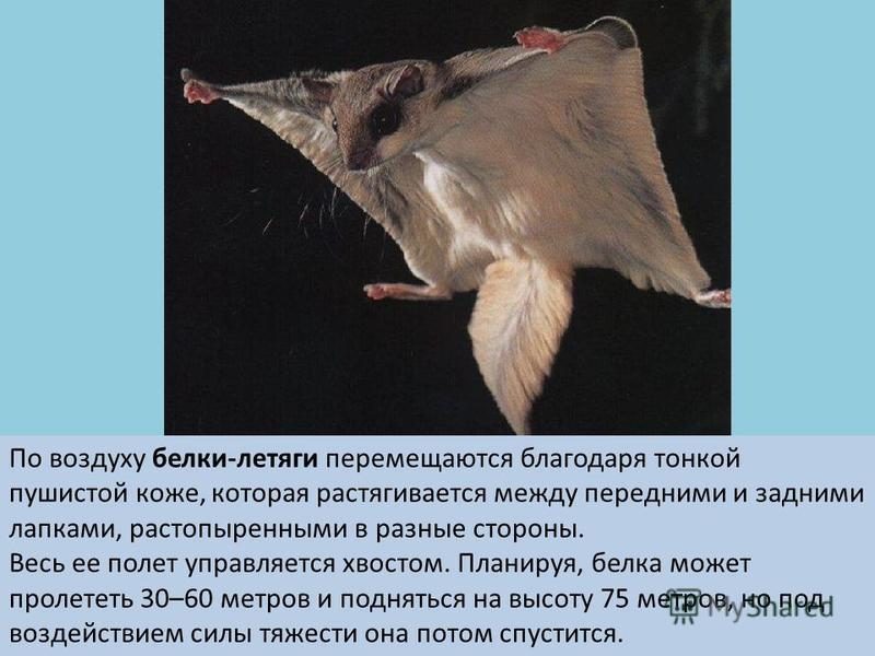 По воздуху белки-летяги перемещаются благодаря тонкой пушистой коже, которая растягивается между передними и задними лапками, растопыренными в разные стороны. Весь ее полет управляется хвостом. Планируя, белка может пролететь 30–60 метров и подняться