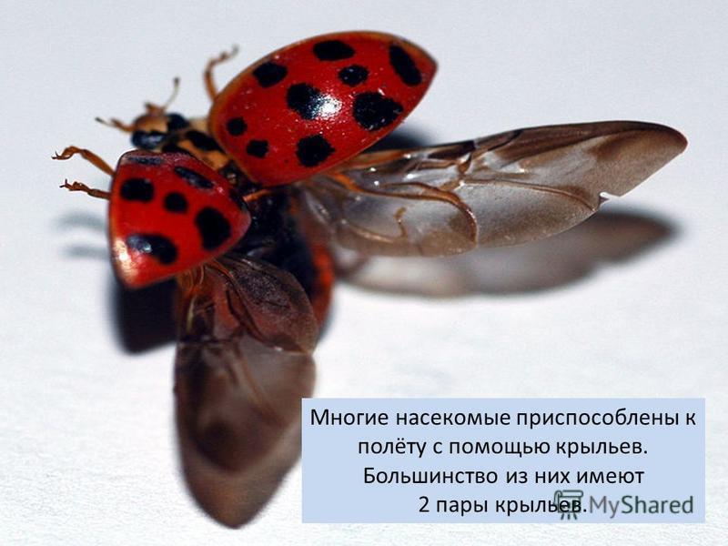 Многие насекомые приспособлены к полёту с помощью крыльев. Большинство из них имеют 2 пары крыльев.