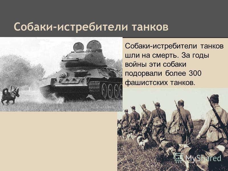 Собаки-истребители танков Собаки-истребители танков шли на смерть. За годы войны эти собаки подорвали более 300 фашистских танков.
