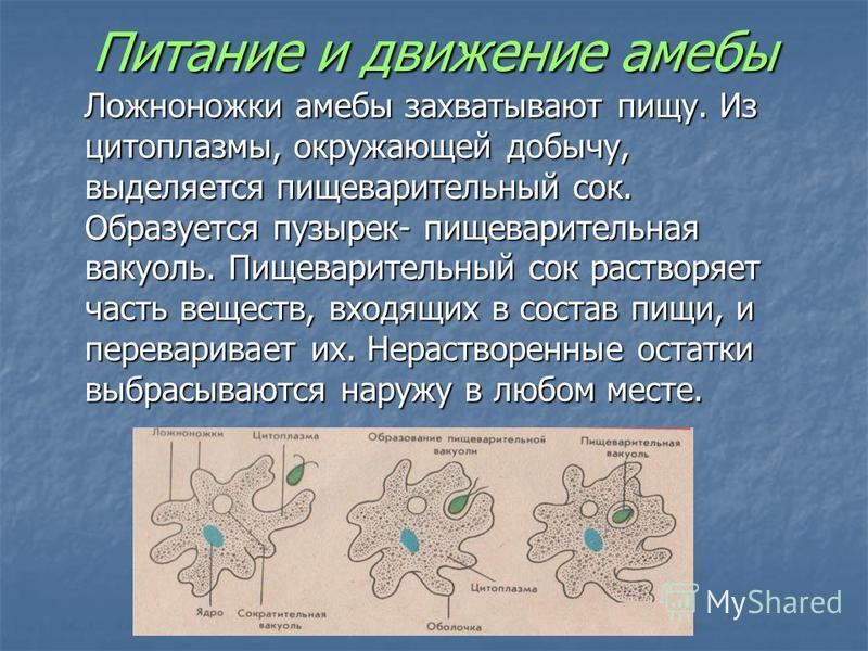Питание и движение амебы Ложноножки амебы захватывают пищу. Из цитоплазмы, окружающей добычу, выделяется пищеварительный сок. Образуется пузырек- пищеварительная вакуоль. Пищеварительный сок растворяет часть веществ, входящих в состав пищи, и перевар