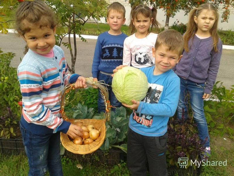 СОБИРАЕМ УРОЖАЙ ! Вот и наступило время собирать урожай! Наши дети очень ждали этого момента. На огороде у нас вырос замечательный лук, прекрасная капуста. Дети сразу решили, что лук нам, когда начнется эпидемия гриппа. А капусту решили отдать на кух