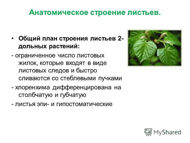 Анатомическое строение листьев. Общий план строения листьев 2- дольных растений: - ограниченное число листовых жилок, которые входят в виде листовых следов и быстро сливаются со стеблевыми пучками - хлоренхима дифференцирована на столбчатую и губчату