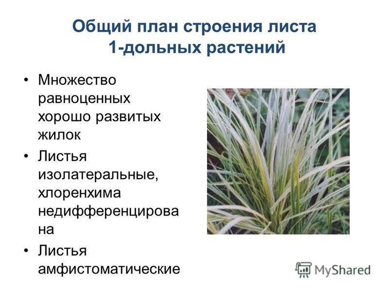 Общий план строения листа 1-дольных растений Множество равноценных хорошо развитых жилок Листья изо латеральные, хлоренхима не дифференцирована Листья амфистоматические