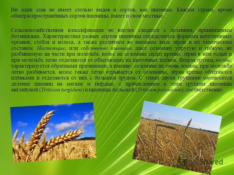Ни один злак не имеет столько видов и сортов, как пшеница. Каждая страна, кроме общераспространённых сортов пшеницы, имеет и свои местные. Сельскохозяйственная классификация не вполне сходится с делением, принимаемым ботаниками. Характеристика разных