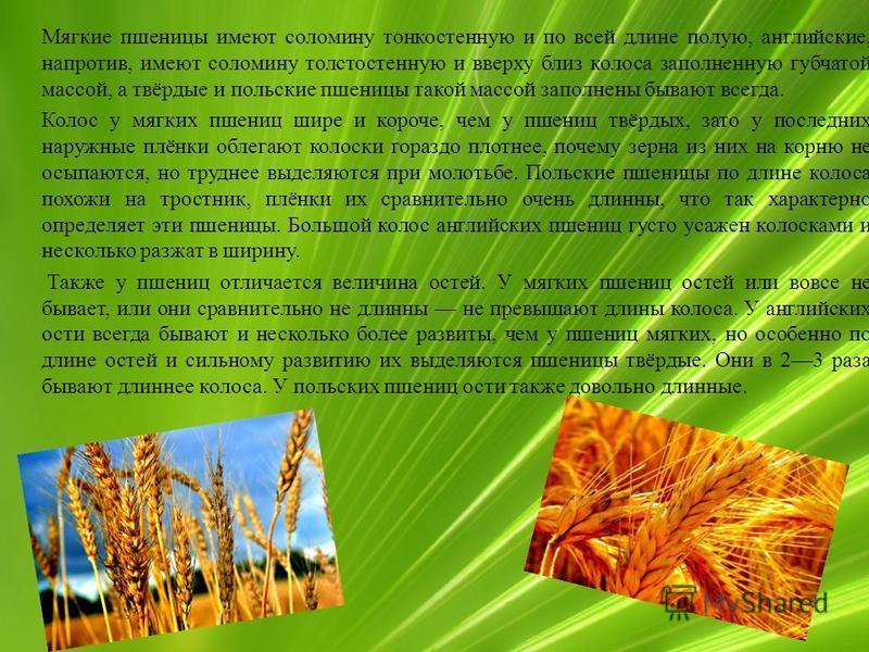 Мягкие пшеницы имеют соломину тонкостенную и по всей длине полую, английские, напротив, имеют соломину толстостенную и вверху близ колоса заполненную губчатой массой, а твёрдые и польские пшеницы такой массой заполнены бывают всегда. Колос у мягких п