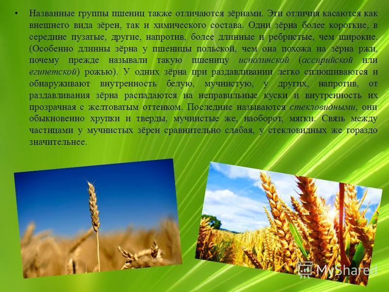 Названные группы пшениц также отличаются зёрнами. Эти отличия касаются как внешнего вида зёрен, так и химического состава. Одни зёрна более короткие, в середине пузатые, другие, напротив, более длинные и ребристые, чем широкие. (Особенно длинны зёрна