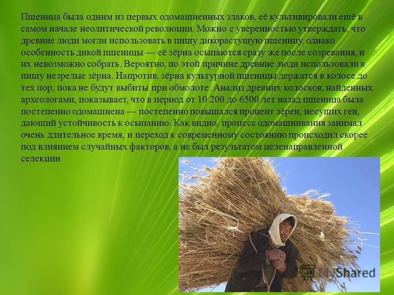 9 Пшеница была одним из первых одомашненных злаков, её культивировали ещё в самом начале неолитической революции. Можно с уверенностью утверждать, что древние люди могли использовать в пищу дикорастущую пшеницу, однако особенность дикой пшеницы её зё
