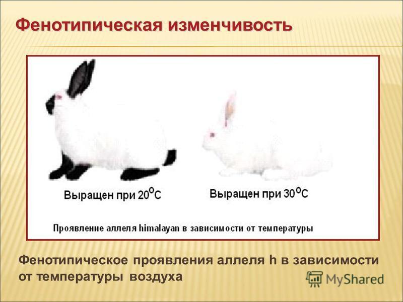 Фенотипическое проявления аллеля h в зависимости от температуры воздуха Фенотипическая изменчивость