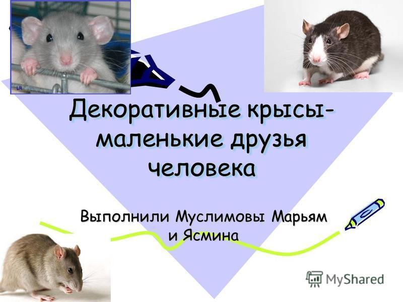 Декоративные крысы- маленькие друзья человека Выполнили Муслимовы Марьям и Ясмина