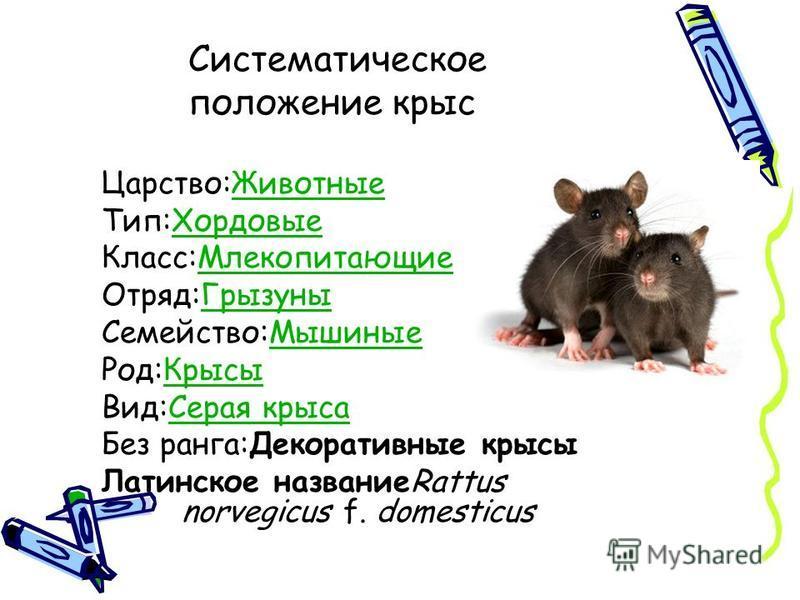 Царство:Животные Животные Тип:Хордовые Хордовые Класс:Млекопитающие Млекопитающие Отряд:Грызуны Грызуны Семейство:Мышиные Мышиные Род:Крысы Крысы Вид:Серая крыса Серая крыса Без ранга:Декоративные крысы Латинское названиеRattus norvegicus f. domestic