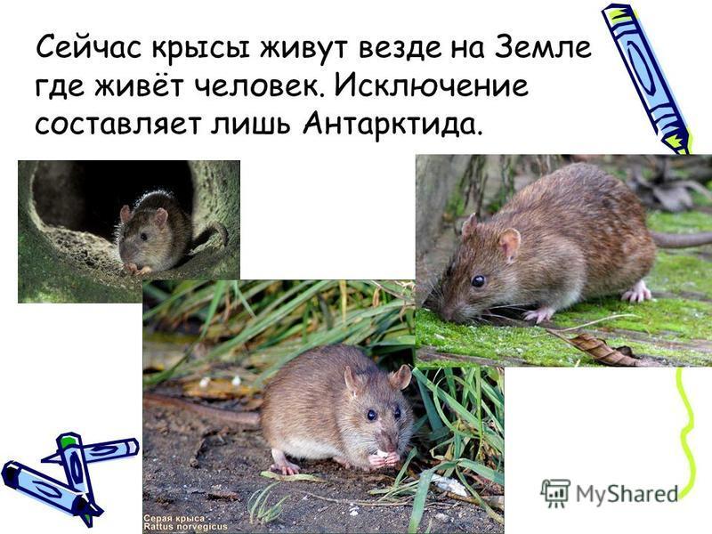 Сейчас крысы живут везде на Земле где живёт человек. Исключение составляет лишь Антарктида.