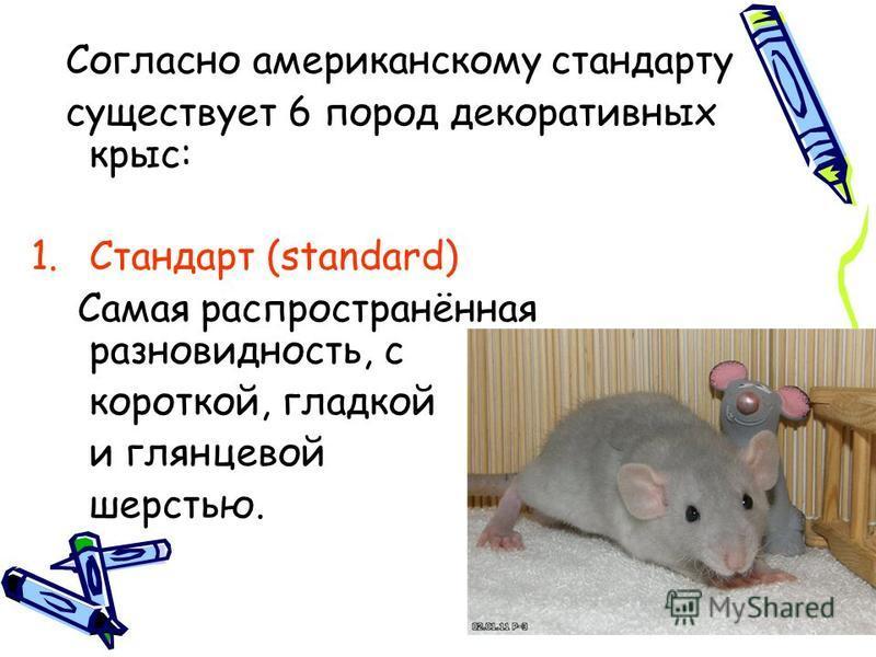 Согласно американскому стандарту существует 6 пород декоративных крыс: 1. Стандарт (standard) Самая распространённая разновидность, с короткой, гладкой и глянцевой шерстью.
