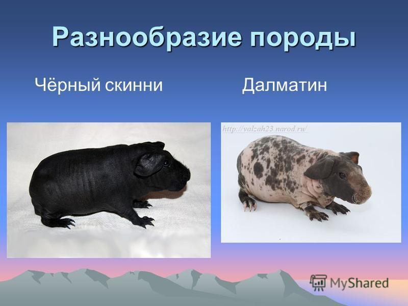 Разнообразие породы Чёрный скины Далматин
