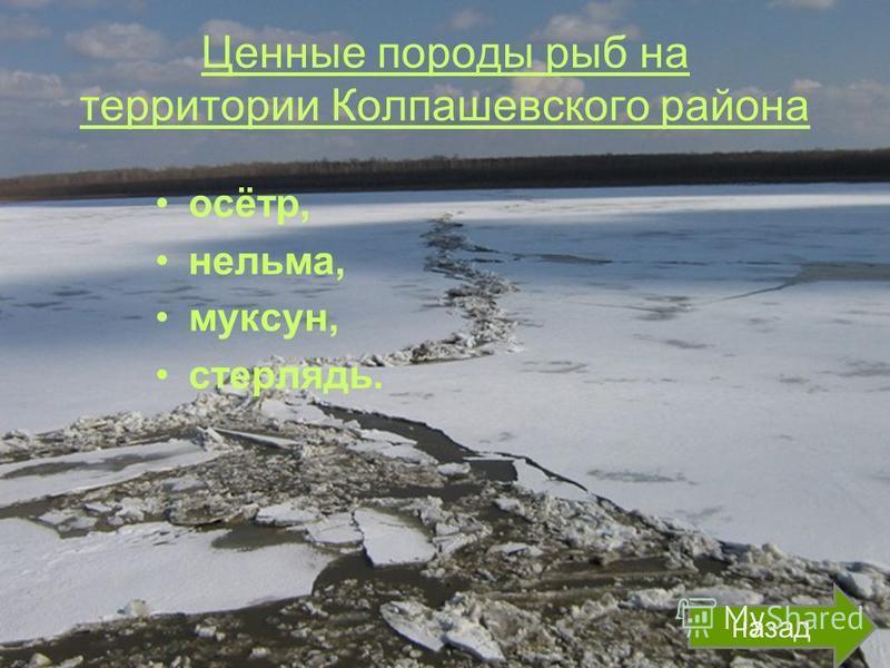 Ценные породы рыб на территории Колпашевского района осётр, нельма, муксун, стерлядь. назад