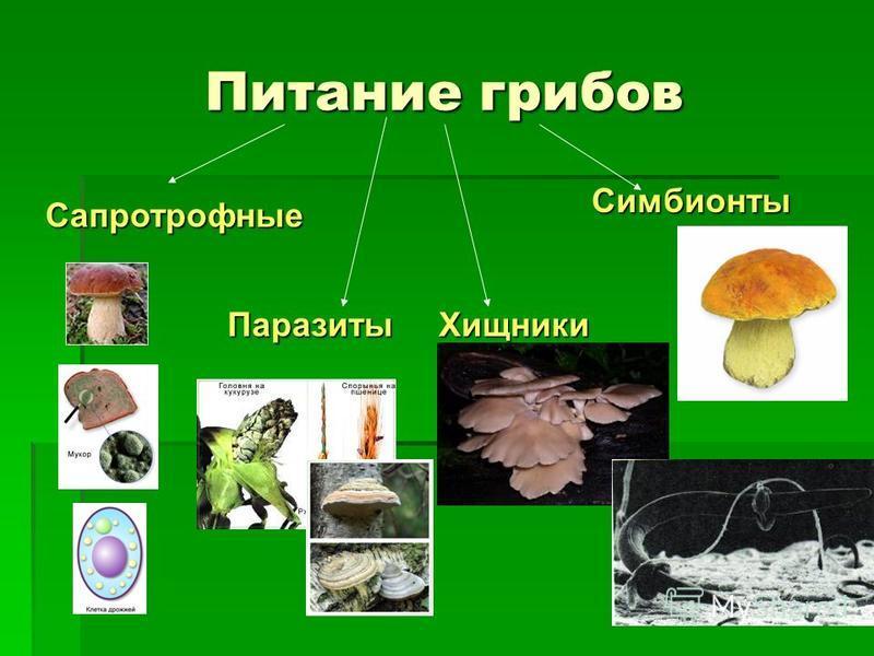 Питание грибов Сапротрофные Симбионты Паразиты Хищники