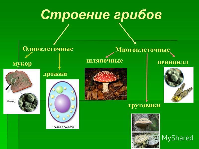 мукор дрожжи Одноклеточные Многоклеточные шляпочные пеницилл трутовики Строение грибов
