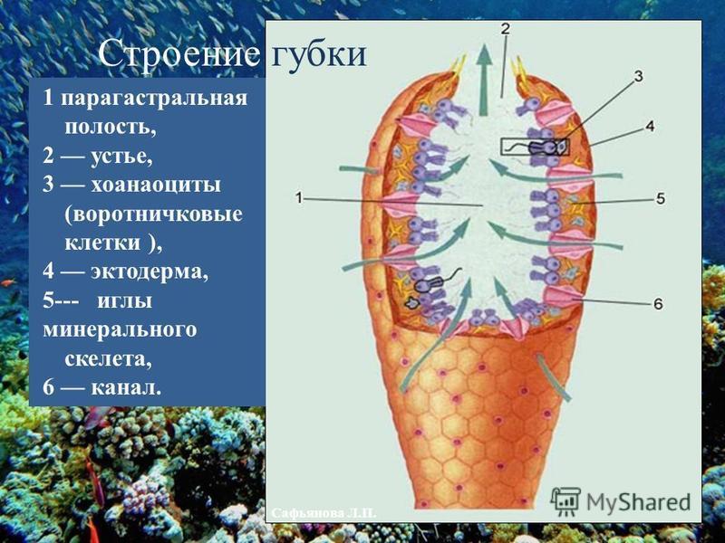 1 парагастральная полость, 2 устье, 3 хоаноциты (воротничковые клетки ), 4 эктодерма, 5--- иглы минерального скелета, 6 канал. Строение губки Сафьянова Л.П.