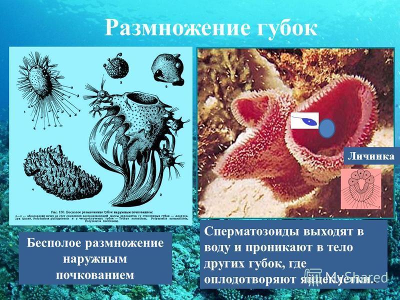 Размножение губок Бесполое размножение наружным почкованием Сперматозоиды выходят в воду и проникают в тело других губок, где оплодотворяют яйцеклетки.. Личинка
