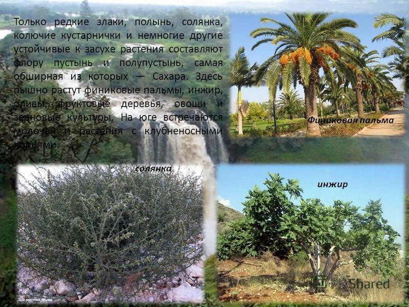Только редкие злаки, полынь, солянка, колючие кустарнички и немногие другие устойчивые к засухе растения составляют флору пустынь и полупустынь, самая обширная из которых Сахара. Здесь пышно растут финиковые пальмы, инжир, оливы, фруктовые деревья, о