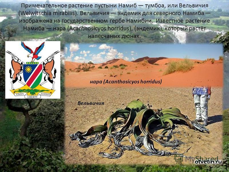 Примечательное растение пустыни Намиб тумбоа, или Вельвичия (Welwitschia mirabilis). Вельвичия эндемик для северного Намиба изображена на государственном гербе Намибии. Известное растение Намиба нара (Acanthosicyos horridus), (эндемик), который растё