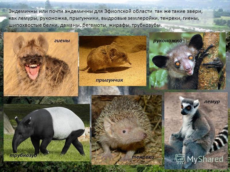 Эндемичны или почти эндемичны для Эфиопской области так же такие звери, как лемуры, руконожка, прыгунчики, выдровые землеройки, тенреки, гиены, шипохвостые белки, даманы, бегемоты, жирафы, трубкозубы. лемур руконожка прыгунчик тенреки гиены трубкозуб