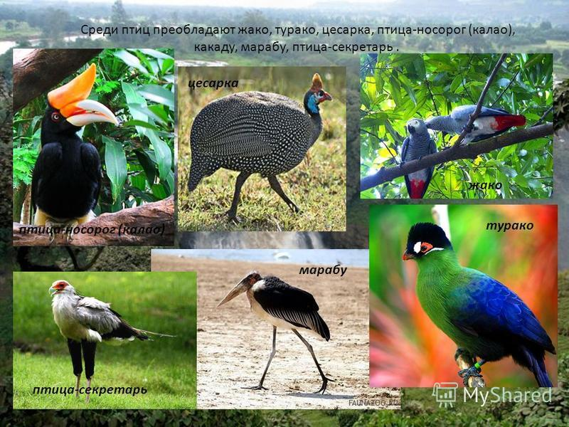 Среди птиц преобладают жако, турако, цесарка, птица-носорог (калао), какаду, марабу, птица-секретарь. жако цесарка птица-носорог (калао) турако марабу птица-секретарь