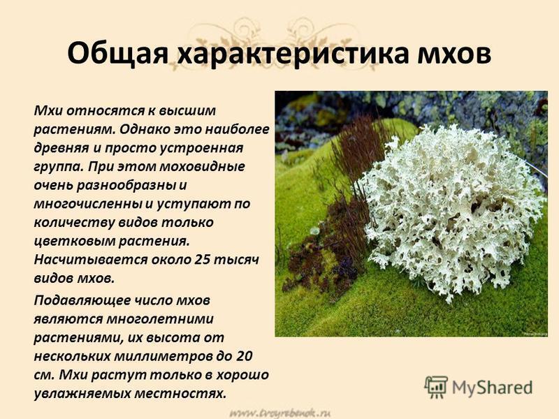 Общая характеристика мхов Мхи относятся к высшим растениям. Однако это наиболее древняя и просто устроенная группа. При этом моховидные очень разнообразны и многочисленны и уступают по количеству видов только цветковым растения. Насчитывается около 2