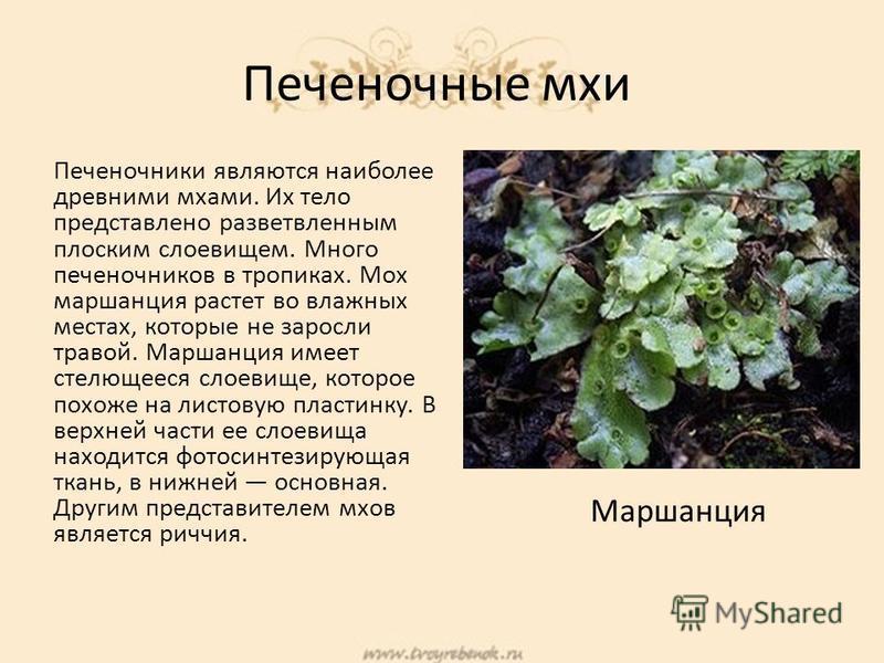 Печеночные мхи Печеночники являются наиболее древними мхами. Их тело представлено разветвленным плоским слоевищем. Много печеночников в тропиках. Мох маршанция растет во влажных местах, которые не заросли травой. Маршанция имеет стелющееся слоевище,