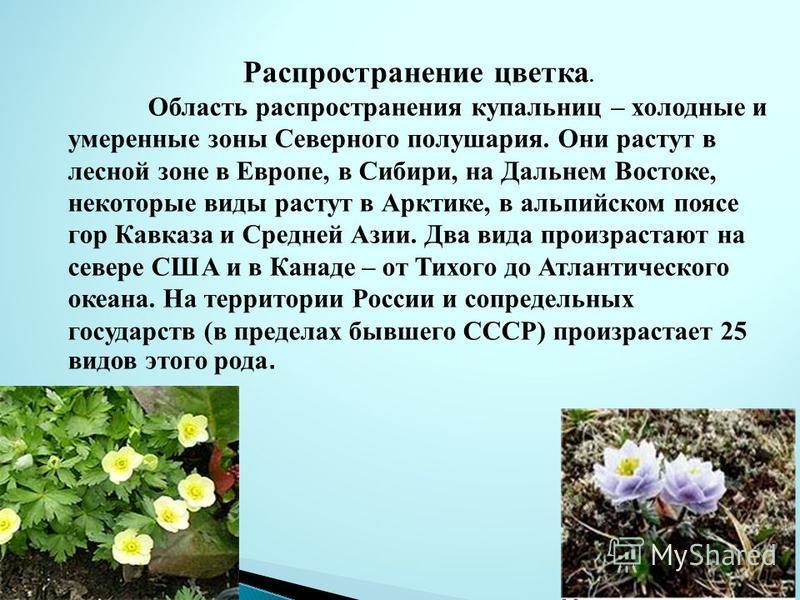 Распространение цветка. Область распространения купальниц – холодные и умеренные зоны Северного полушария. Они растут в лесной зоне в Европе, в Сибири, на Дальнем Востоке, некоторые виды растут в Арктике, в альпийском поясе гор Кавказа и Средней Азии