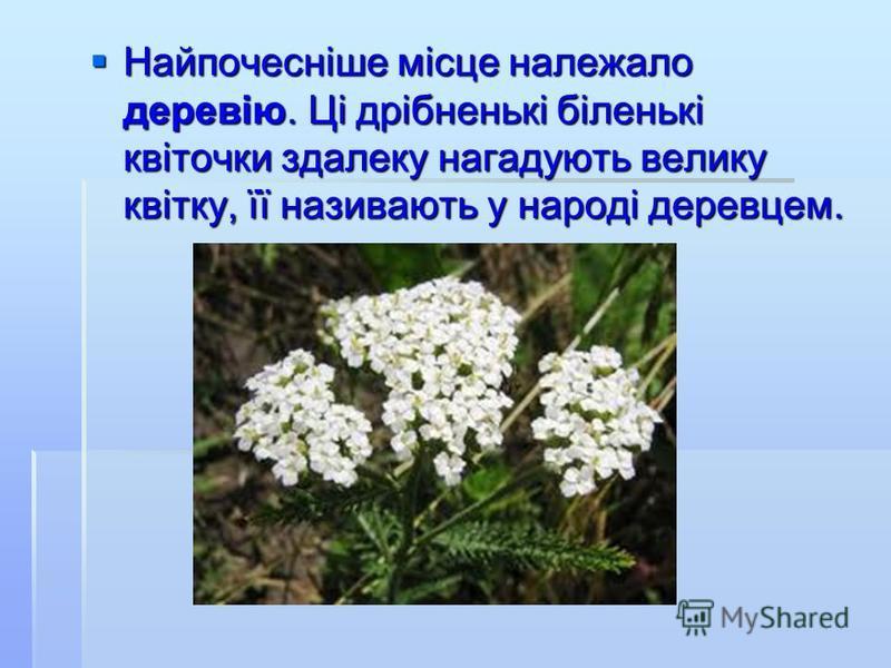 Найпочесніше місце належало деревію. Ці дрібненькі біленькі квіточки здалеку нагадують велику квітку, її називають у народі деревцем. Найпочесніше місце належало деревію. Ці дрібненькі біленькі квіточки здалеку нагадують велику квітку, її називають у