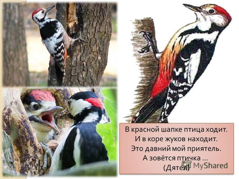 В красной шапке птица ходит. И в коре жуков находит. Это давний мой приятель. А зовётся птичка... ( Дятел )