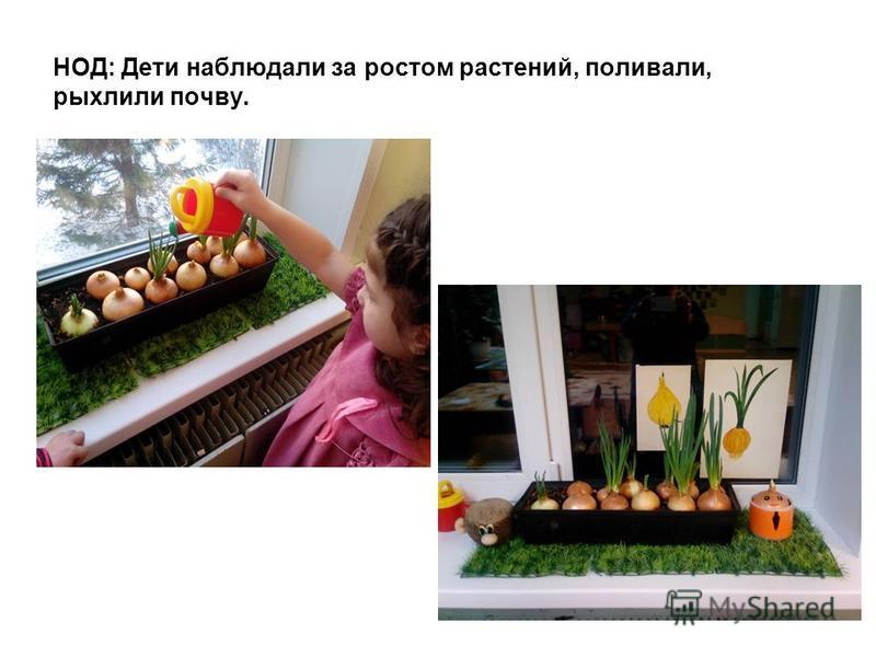 НОД: Дети наблюдали за ростом растений, поливали, рыхлили почву.