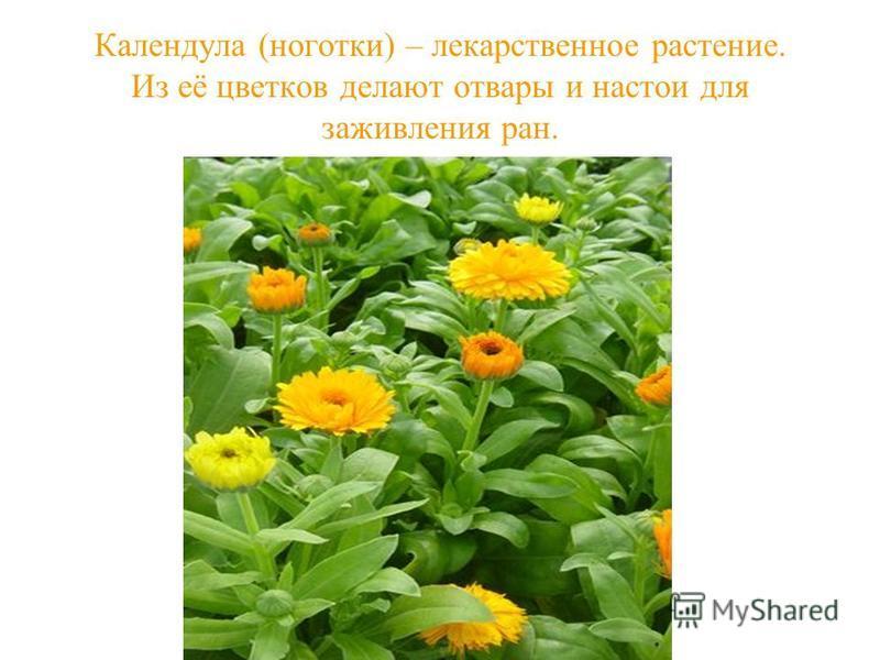 Календула (ноготки) – лекарственное растение. Из её цветков делают отвары и настои для заживления ран.