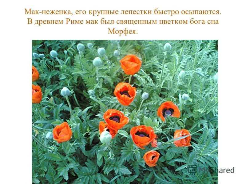 Мак-неженка, его крупные лепестки быстро осыпаются. В древнем Риме мак был священным цветком бога сна Морфея.
