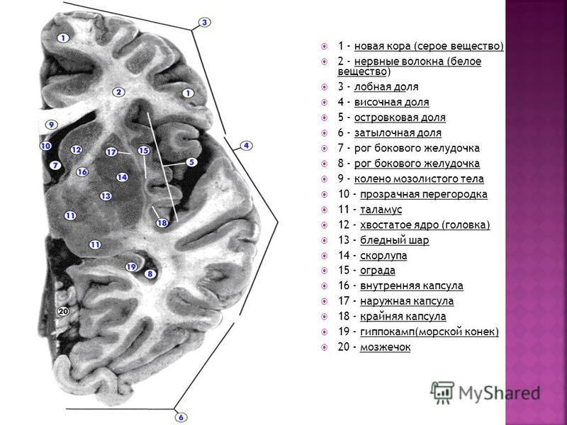1 - новая кора (серое вещество) 2 - нервные волокна (белое вещество) 3 - лобная доля 4 - височная доля 5 - островковая доля 6 - затылочная доля 7 - рог бокового желудочка 8 - рог бокового желудочка 9 - колено мозолистого тела 10 - прозрачная перегоро