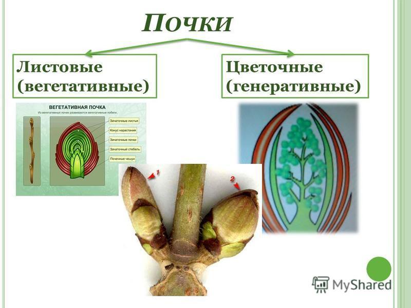 П ОЧКИ Листовые (вегетативные) Цветочные (генеративные)