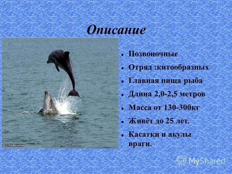 Описание Позвоночные Отряд :китообразных Главная пища рыба Длина 2,0-2,5 метров Масса от 130-300 кг Живёт до 25 лет. Касатки и акулы враги.