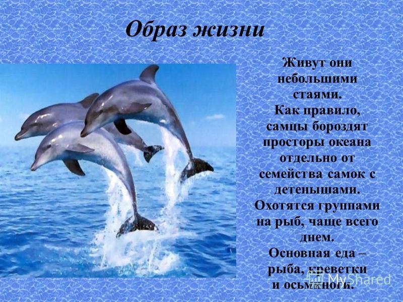 Образ жизни Живут они небольшими стаями. Как правило, самцы бороздят просторы океана отдельно от семейства самок с детенышами. Охотятся группами на рыб, чаще всего днем. Основная еда – рыба, креветки и осьминоги.