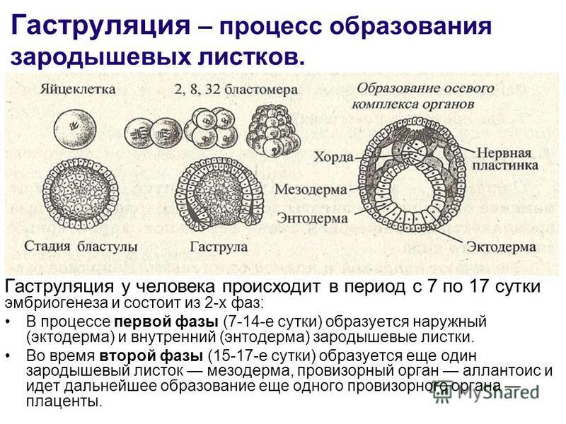 Гаструляция – процесс образования зародышевых листков. Гаструляция у человека происходит в период с 7 по 17 сутки эмбриогенеза и состоит из 2-х фаз: В процессе первой фазы (7-14-е сутки) образуется наружный (эктодерма) и внутренний (энтодерма) зароды