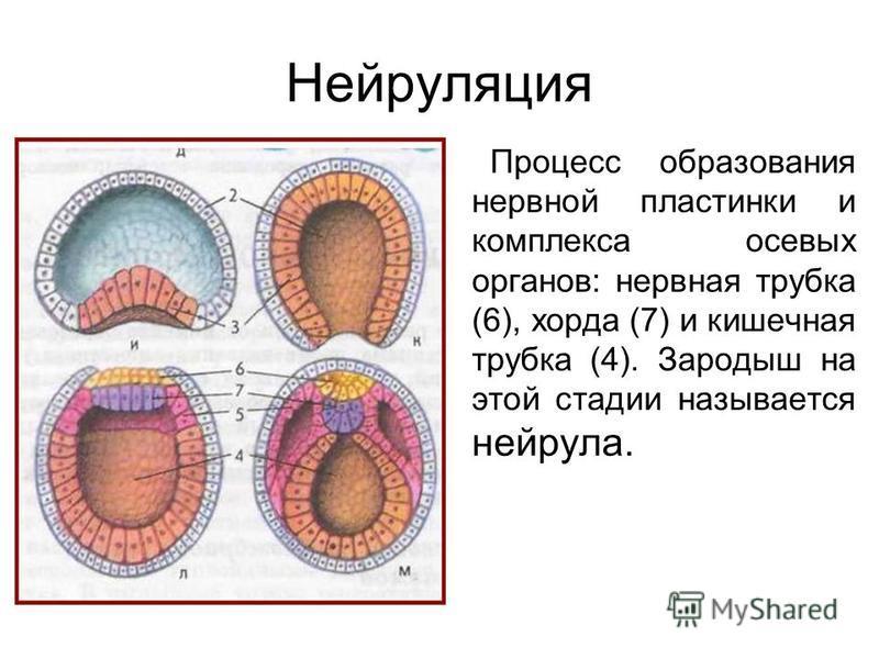 Нейруляция Процесс образования нервной пластинки и комплекса осевых органов: нервная трубка (6), хорда (7) и кишечная трубка (4). Зародыш на этой стадии называется нейрула.
