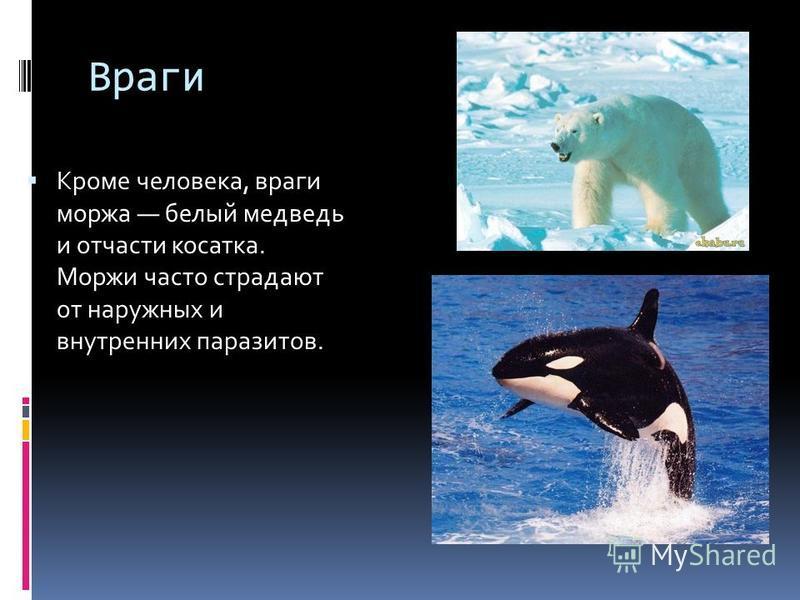 Враги Кроме человека, враги моржа белый медведь и отчасти косатка. Моржи часто страдают от наружных и внутренних паразитов.
