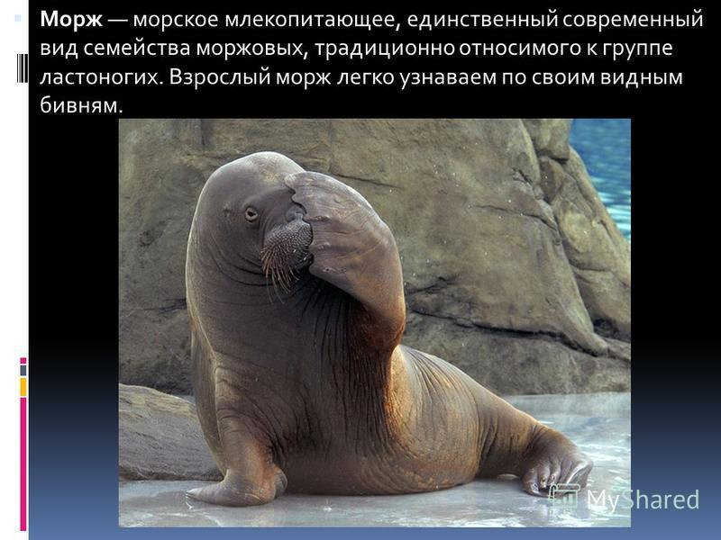 Морж морское млекопитающее, единственный современный вид семейства моржовых, традиционно относимого к группе ластоногих. Взрослый морж легко узнаваем по своим видным бивням.
