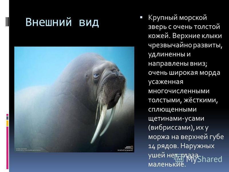 Внешний вид Крупный морской зверь с очень толстой кожей. Верхние клыки чрезвычайно развиты, удлиненны и направлены вниз; очень широкая морда усаженная многочисленными толстыми, жёсткими, сплющенными щетинами-усами (вибриссами), их у моржа на верхней