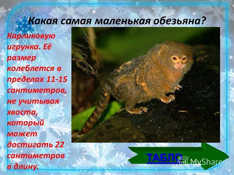 Какая самая маленькая обезьяна? Карликовую игрунка. Её размер колеблется в пределах 11-15 сантиметров, не учитывая хвоста, который может достигать 22 сантиметров в длину.