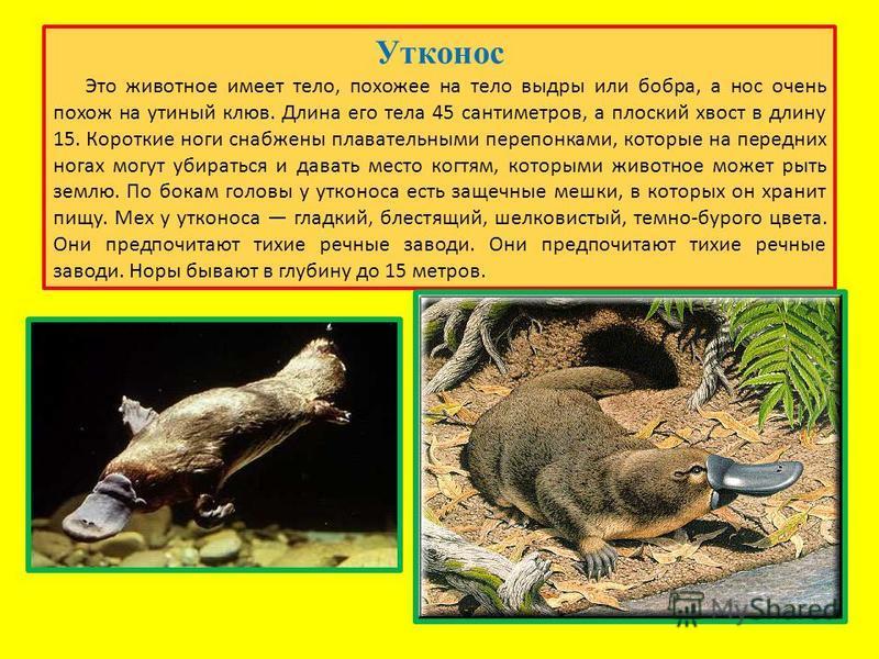 Утконос Это животное имеет тело, похожее на тело выдры или бобра, а нос очень похож на утиный клюв. Длина его тела 45 сантиметров, а плоский хвост в длину 15. Короткие ноги снабжены плавательными перепонками, которые на передних ногах могут убираться
