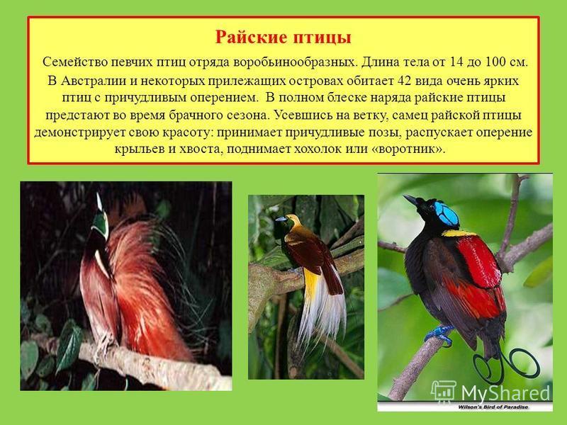 Райские птицы Семейство певчих птиц отряда воробьинообразных. Длина тела от 14 до 100 см. В Австралии и некоторых прилежащих островах обитает 42 вида очень ярких птиц с причудливым оперением. В полном блеске наряда райские птицы предстают во время бр