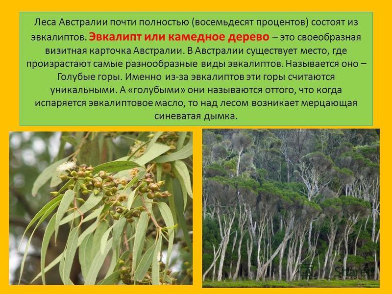 Леса Австралии почти полностью (восемьдесят процентов) состоят из эвкалиптов. Эвкалипт или камедное дерево – это своеобразная визитная карточка Австралии. В Австралии существует место, где произрастают самые разнообразные виды эвкалиптов. Называется