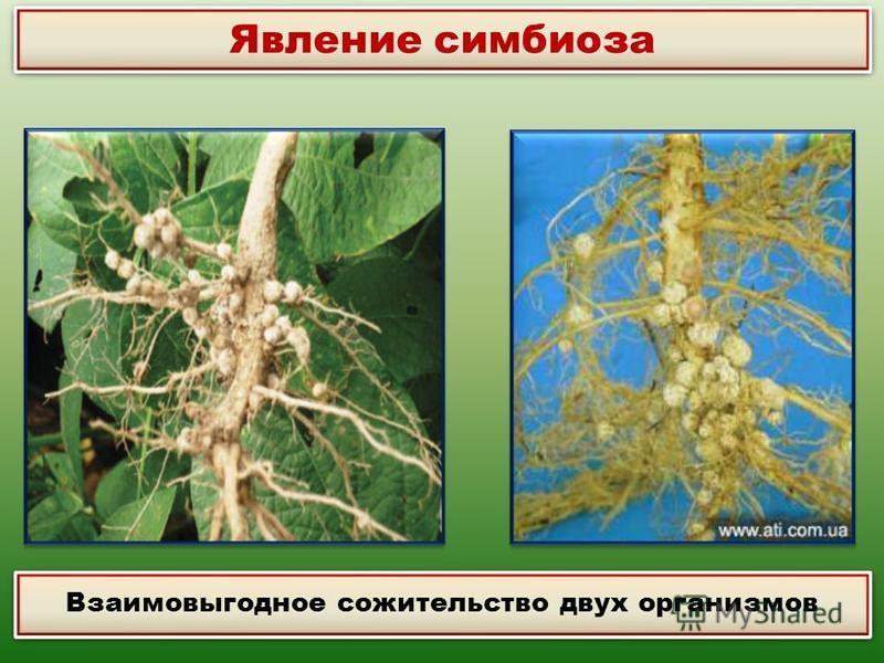 Явление симбиоза Взаимовыгодное сожительство двух организмов